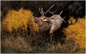 Bull Elk in Fall Colors