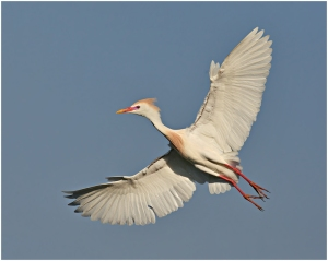 Banking Cattle Egret