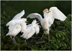 Cattle Egrets at the Nest