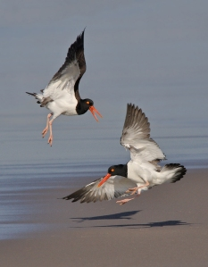 Oystercatcher Confrontation